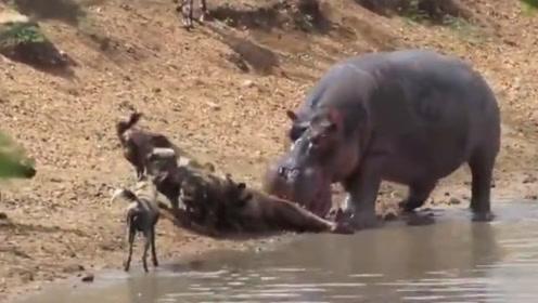 别看河马是食草动物,吃起羚羊可绝不嘴软,感觉像嚼口香糖!