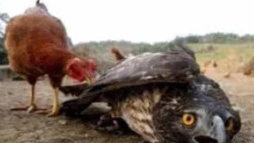 实拍老鹰捉鸡,原来以为是个王者,结果下一秒老鹰肠子都悔青了!
