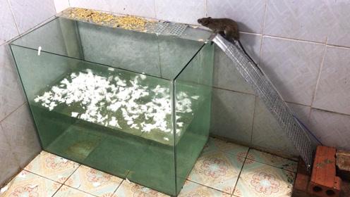 简单好用的电击捕鼠,老鼠全往缸里蹦