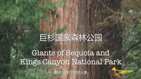 80米美国巨杉,2500树龄超越秦始皇