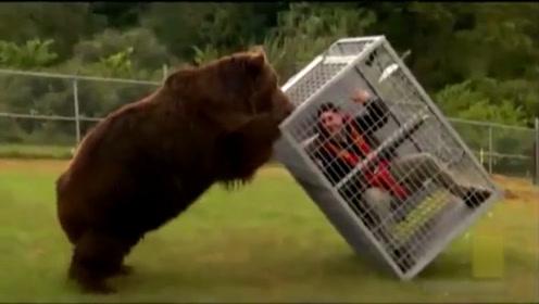 国外小哥疯狂作死,将自己锁进铁笼,熊:你这是在耍棕熊呢?