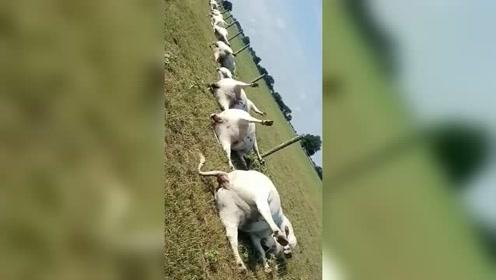 暴风雨过后 农场23头牛在篱笆旁排成一排被电死