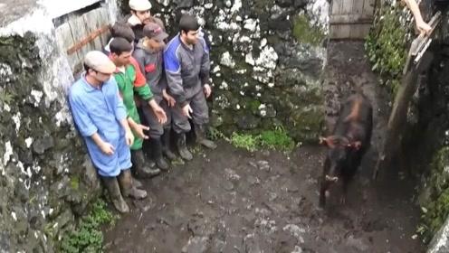 练胆的时候到了,6个人站成一排,公牛会先撞哪一个?