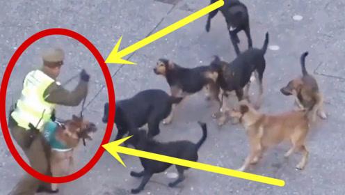 警犬被10只流浪狗围攻,本以为警犬无所畏惧,谁知让人大失所望