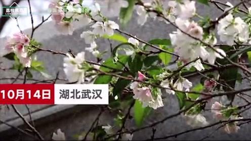 武大解释樱花被天气搞晕:受光照温度诱导调节