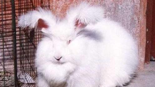 兔子的耳朵为什么那么长?到底有什么作用?看完涨知识了