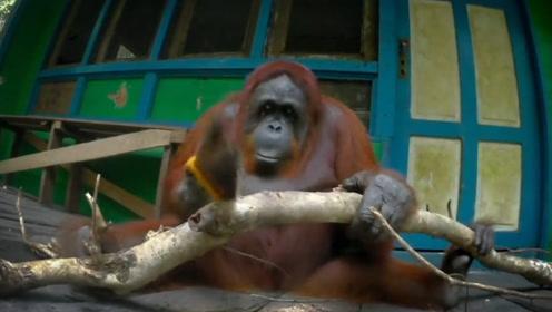 红毛大猩猩又进化啦?居然学会了锯木头,知道真相游客笑喷!