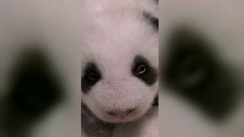 熊猫第一次睁开双眼的样子:萌到犯规!