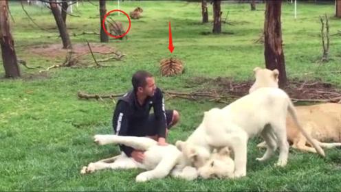豹子偷袭饲养员,老虎上去就是个大耳光:你把他吃了我怎么办