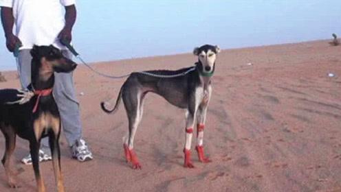 迪拜人为何要花一百多万买这种狗,难道只因为好看?看过懂了!