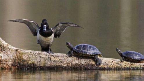 男子湖边发现水面挣扎着只鸭子,游到近前才发现,罪魁祸首在水里