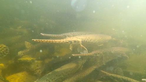 水中拍摄,水底里有好多鳄雀鳝