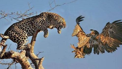 豹子捕捉彪悍老鹰,动作干脆利落,刹那间将其秒杀!