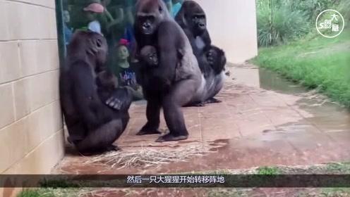 大猩猩躲在屋檐下避雨,这模样太像人类了,3秒后忍住别笑!