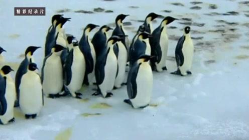 帝企鹅妈妈跋涉80公里寻食物!偶遇密道省脚力,杀出海豹乱搅局!