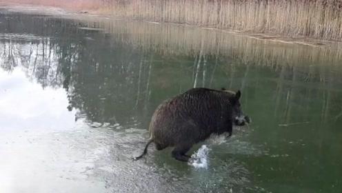 野猪被困在结冰湖面上,接下来发生的事情让人意外,这猪是来搞笑的吗