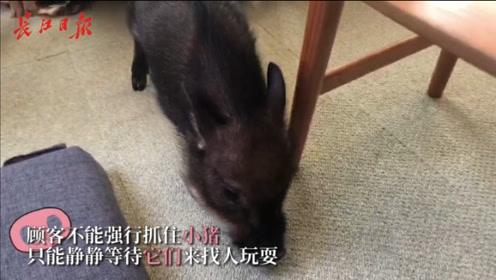 """在东京体验最潮""""猪咖"""",瞬间萌化!还有猫头鹰咖啡馆了解一下"""