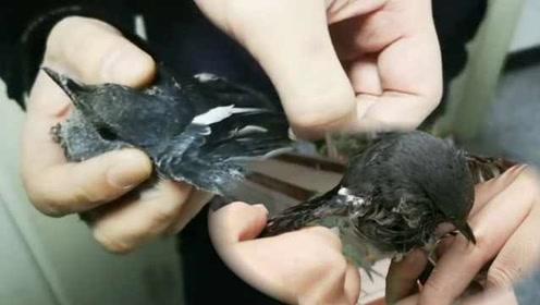 太残忍了!活泼小鸟被黏强力胶,民警用4种洗剂清洗翅膀