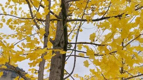 染色剂喷草添绿已落伍!贵阳一开发商直接为枯树加叶添花