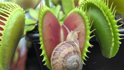 蜗牛无意间爬到捕蝇草嘴里,等下次再张开嘴,早已经风平浪静