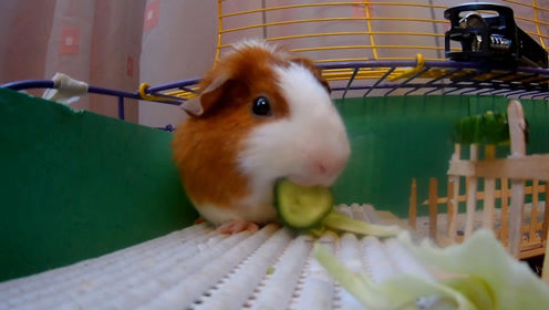 """主人相机记录仓鼠每天日常,结果它嘴巴从没停过,真是个""""吃货"""""""