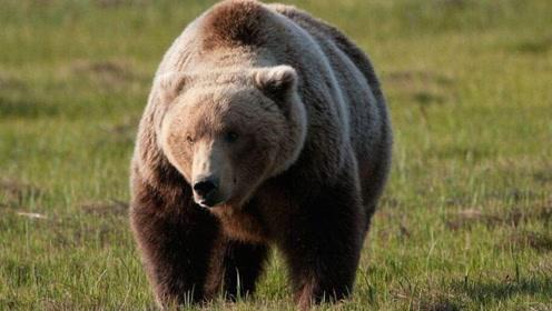 国外男子作死惹怒大棕熊,被棕熊追赶,他的命运将会如何呢?