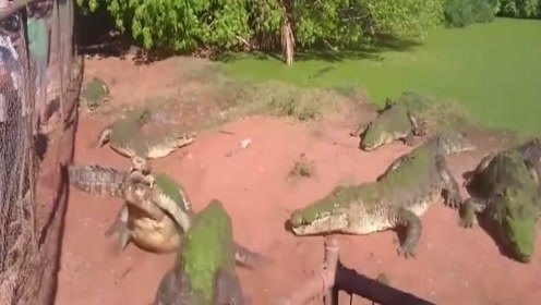 """傻鳄鱼把同伴的爪子当成猎物,""""死亡翻滚""""都用上,鳄鱼:我跟谁说理去?"""