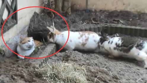 猫咪掉进兔子窝会发生什么?看到两只肥兔子后,请大家憋住不要笑