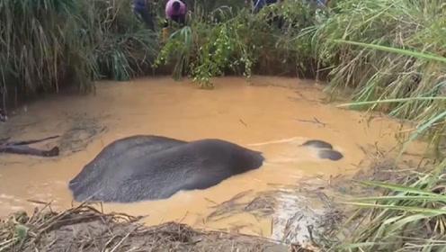 都羡慕大象庞大的体型,却不知事有利弊,镜头记录全过程
