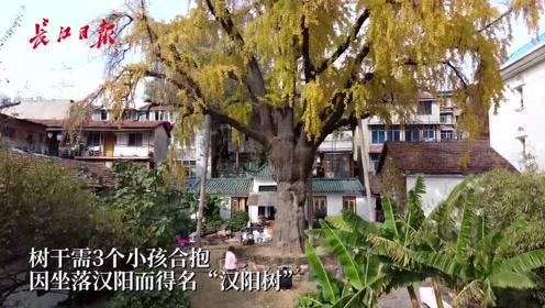 """武汉""""汉阳树""""迎最佳观赏期,已有500余年历史"""