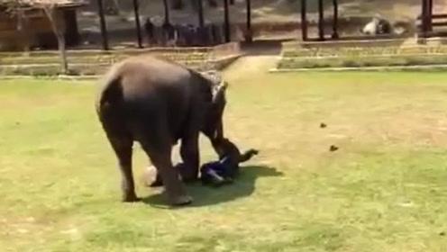 照顾大象17年,饲养员被攻击,大象挺身而出,镜头拍下全过程