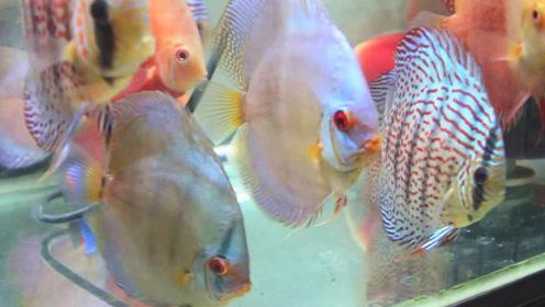 一群五颜六色的野生七彩鱼,各个活蹦乱跳,让人看着真养眼