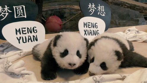 """歹毒!碰瓷大熊猫宝宝取名未遂 乱港分子竟诅咒其""""绝种"""""""