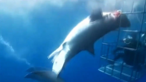 心痛!大白鲨活活卡死在潜水笼