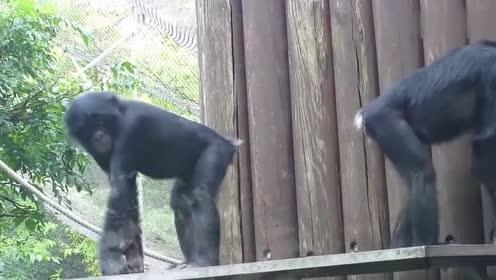 黑猩猩遭嫌弃!母猩猩不乐意靠近!原因竟是长的丑