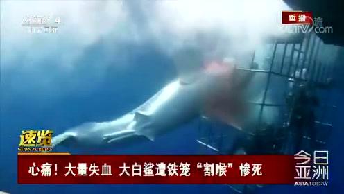 """心痛!大量失血 大白鲨遭铁笼""""割喉""""惨死"""