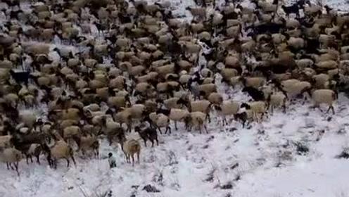 冰天雪地里的一群羊