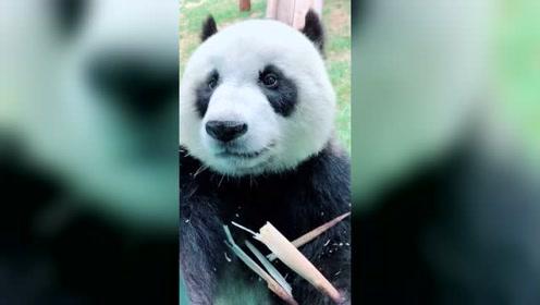 吃货大熊猫,停不下来!