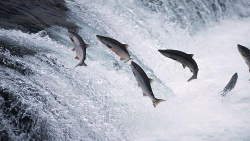黄河的水汇大海后,里面的淡水鱼去哪里了,是被冲进大海了吗?