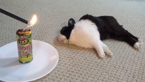 这主人真是调皮,趁兔子睡觉跑来放鞭炮,结局太反转了!