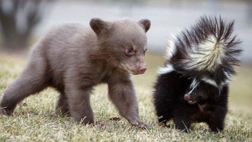 世界上最臭的动物,臭到丧失视觉嗅觉,杀伤力宛如生化武器!