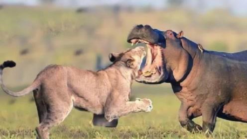 胆大狮子挑衅河马,结果被河马一招反击,镜头记录了这一幕!