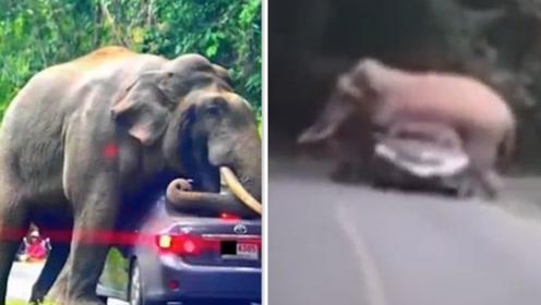 """太淘气!一轿车观光区里遭野象用象牙顶车 最后被""""泰山压顶"""""""
