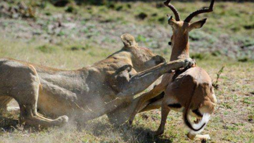 两头羚羊大白天打架斗殴,刚刚还十分嚣张,转眼就悲剧了!