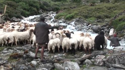 女子在路边放羊,小羊突然冲向女主人,还不解气的又顶了两下