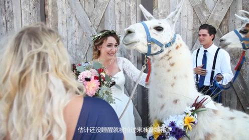 日本酒店推出特殊婚礼服务,用羊驼当花童,不怕喧宾夺主?