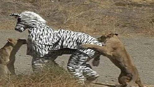 两男子在草原上假扮斑马,不料刚好撞见了狮群,想跑都来不及了