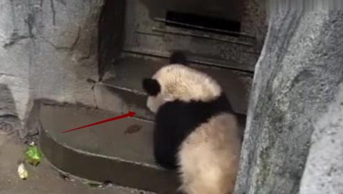 大熊猫下雨被淋透,竟向奶爸装可怜求进屋,不料下一秒笑翻众人!