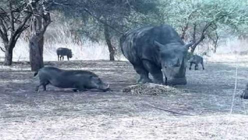 野猪去抢犀牛的食物,等野猪靠近,它一角戳中野猪的要害!
