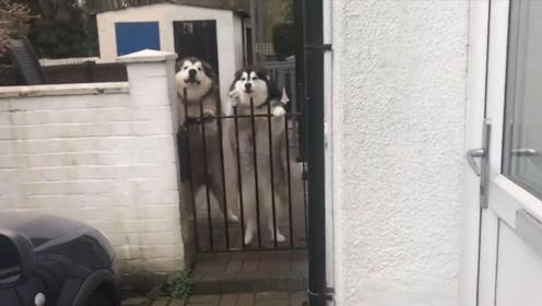 两只狗子趴在围栏上等着主人,一见到主人就扑上去,网友:真激动